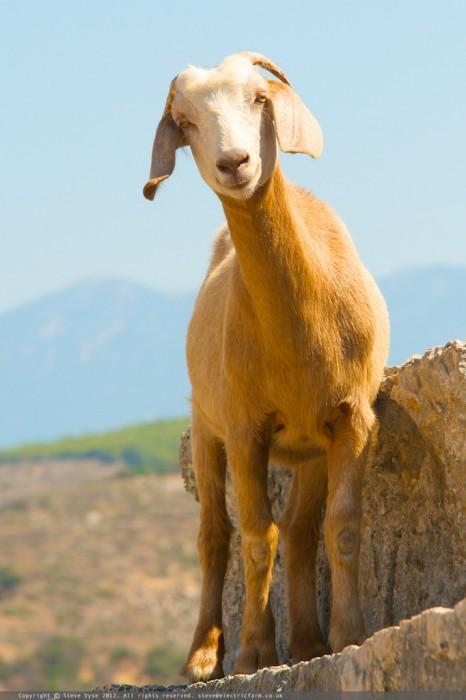 Goat. Kalkan, Turkey.